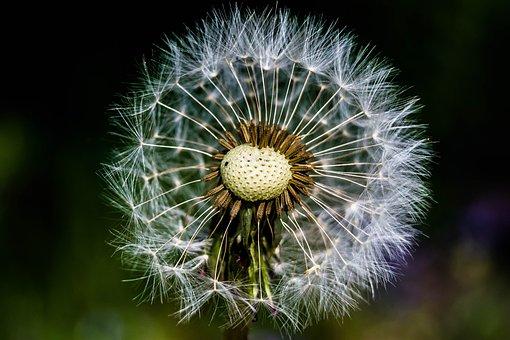 Dandelion, Nature, Plant, Summer, Mag, Flower, Frailty