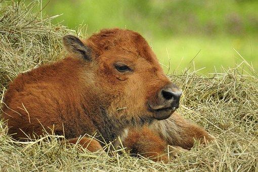 Grass, Animal, Nature, Mammal, Animal World, Calf