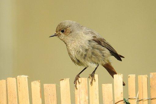 Bird, Nature, Animal World, Garden Redstarts