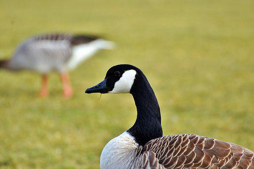 Goose, Wild Goose, Water Bird, Poultry, Bird