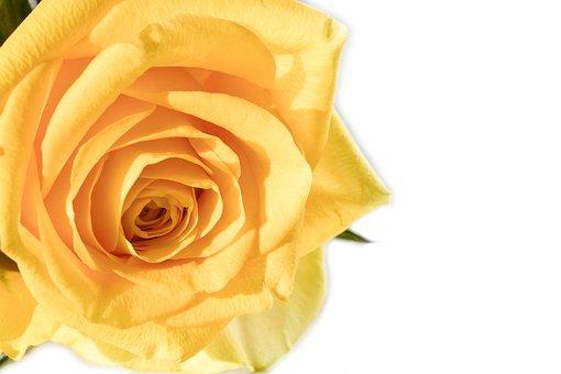 Rose, Flower, Gift, Anniversary, Petal, Blooming