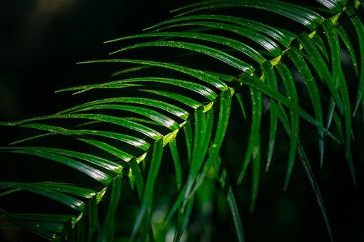 Leaf, Nature, Plant, Lancet Fir, Branch