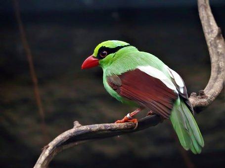 Green Magpie, Magpie, Endangered Species, Rare, Bird