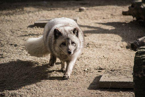 Mammal, Nature, Arctic Fox, Zoo, Predator, Fur, Fuchs