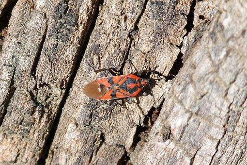 Eurydema Ornata, Red Bug, Insect, Orange Beetle, Nature
