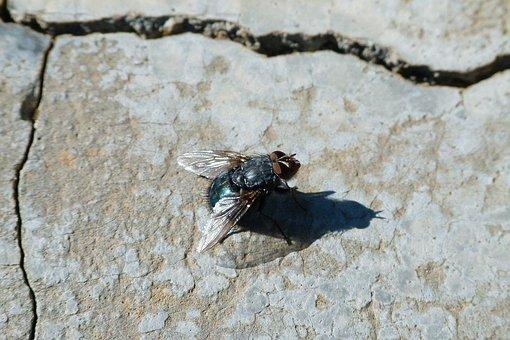 Fly, Greenfly, Lucilia Sericata, Fly Vironera, Gadfly