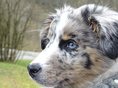 Australian Shepherd, Dog, Merle, Pet, Portrait, Lying