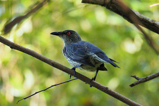 Bird, Nature, Wildlife, Wing, Outdoors, Starling, Asian