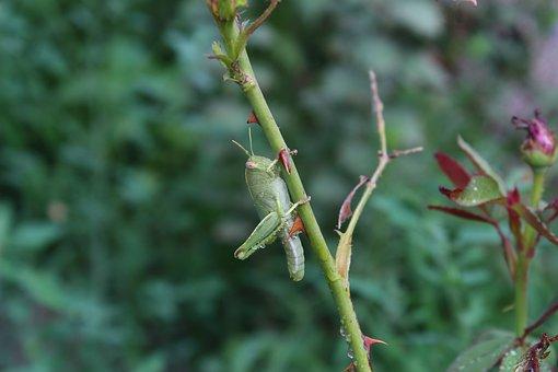 Grasshopper, Insect, No Vertebrate, Living Nature