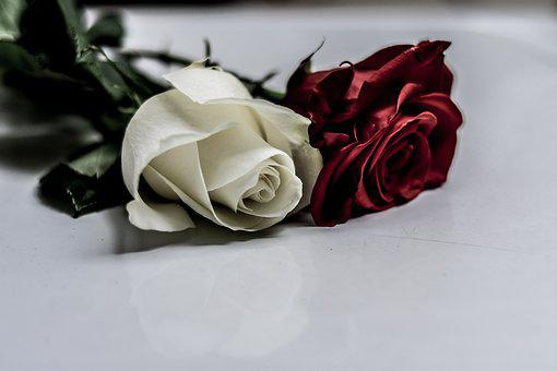Rosa, Gift, Love, Romantic