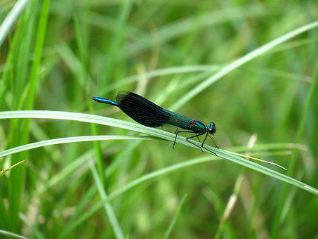 Nature, Summer, Water, Dragonfly, Banded Demoiselle