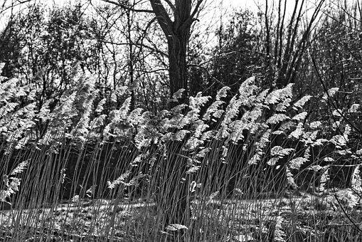 Reed, Plume, Phragmites Australis, Tree, Sunlight