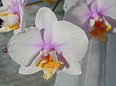 Orchid Flower, White, Pink, Yellow, Speckled, Flower