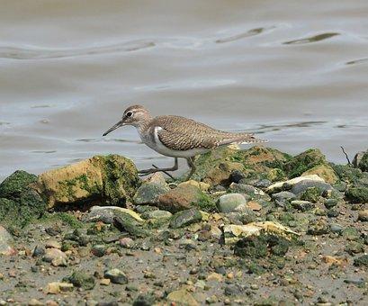 Shorebird, Bird, Wildlife, Water, Marsh, Nature, Beach