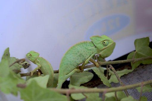 Yemen Chameleon, Chameleon, European Chameleon
