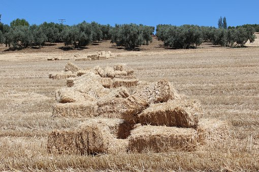 Nature, Dry, Landscape, Summer, Field, Alpaca, Cereals