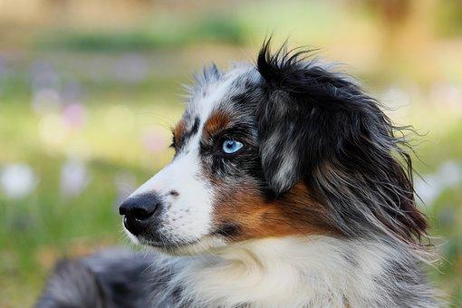 Australian Shepherd, Blue Merle, Dog, Animal