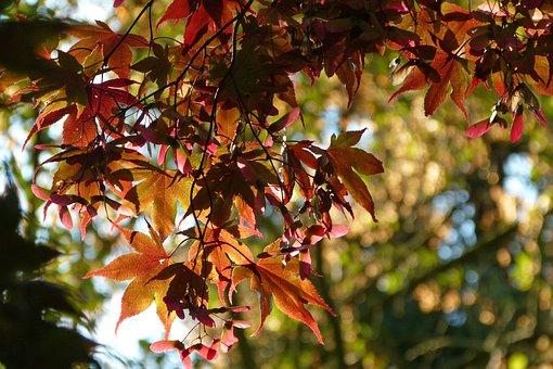 Leaf, Autumn, Nature, Bright, Tree, Leaves, Blood Maple