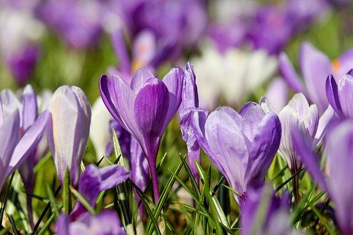 Crocus, Flower, Blossom, Bloom, Violet, Plant
