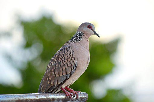 Nature, Bird, Wildlife, Animal, Wing, Spotted, Dove