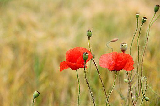 Poppy, Red Weed, Red, Flower, Nature, Field, Meadow