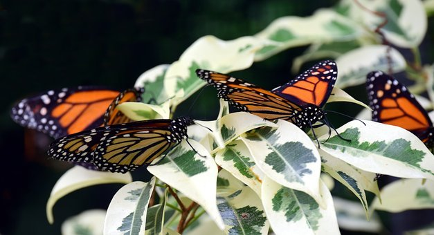 Monarch, Close, Tropical, Butterfly, Insect, Nature