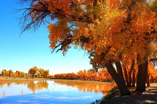 Autumn, Tree, Nature, Landscape, Ejin, Yellow Leaves