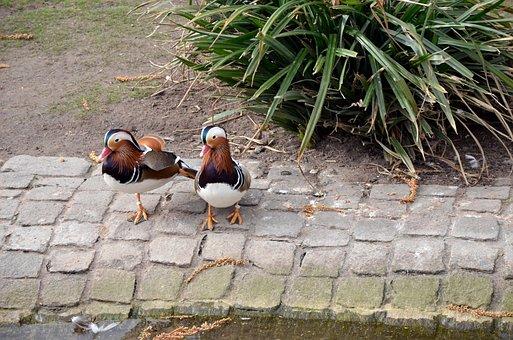 Nature, Bird, Grass, Ducks, In The Free, Background