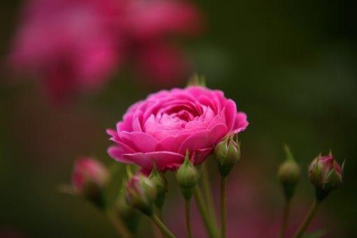 Flowers, Nature, Plants, Garden, Summer, Rose