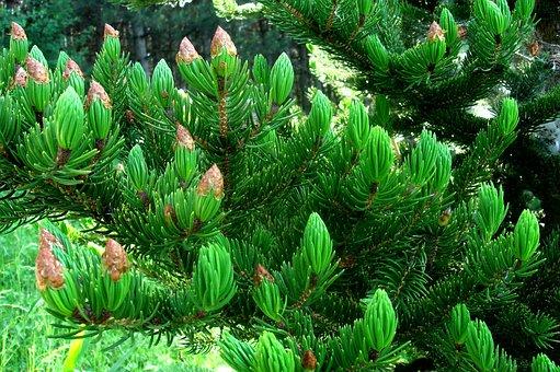 Tree, Evergreen, Nature, Needle, Cones, Spruce