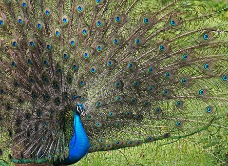 Peacock, Hen, Eye, Nature, Eyes, Peacock Feathers