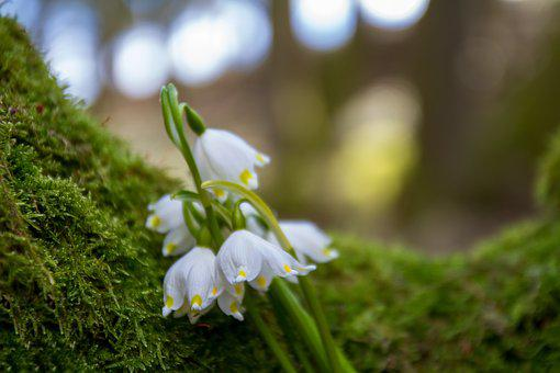 Flower, Snowdrop, Nature, Plant, Tree
