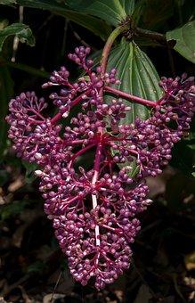Flowers, Malaysian Orchid, Medinilla Myriantha, Purple