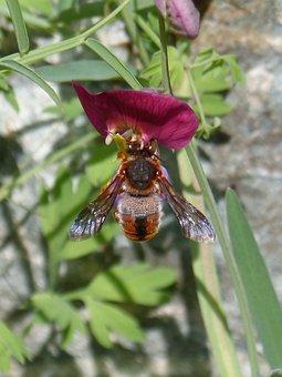 Red Bee, Rhodanthidium Sticticum, Libar, Nature, Insect