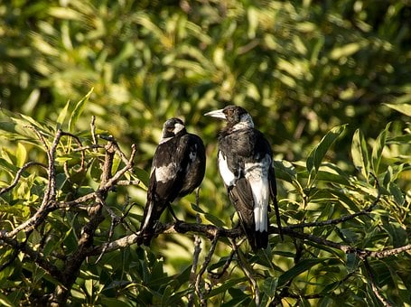 Magpie, Australian Magpies, Two, Birds, Perched