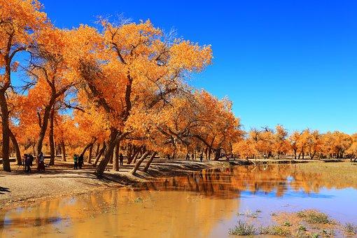Autumn, Tree, Nature, Landscape, Wood, Populus, Ejin