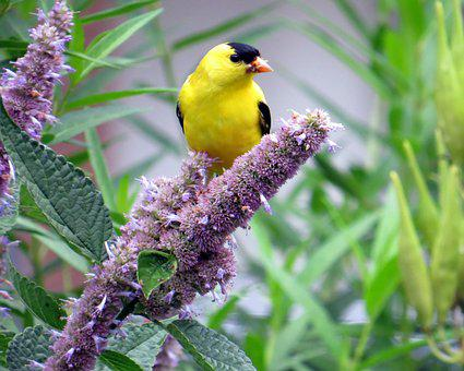 Bird, Nature, Wildlife, Wild, Animal, Flowers, Hyssop