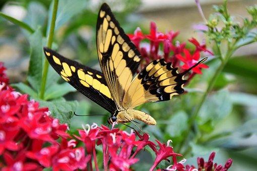 Butterfly, Schwalbenschwänzchen, Insect, Animal, Nature