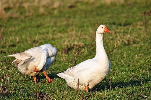 Goose, Bird, Water Bird, Animal, White Goose, Standing
