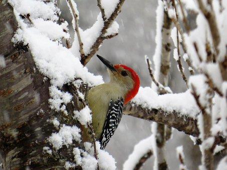Winter, Bird, Nature, Tree, Outdoors, Woodpecker