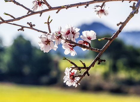 Tree, Flower, Branch, Cherry, Nature, Outdoors, Plant