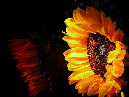 Sunflower, Nature, Flora, Beautiful, Translucent, Color