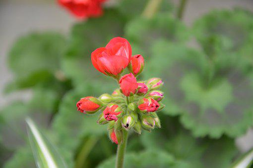 Flower, Red Geranium, Flower Bud, Green Foliage, Nature