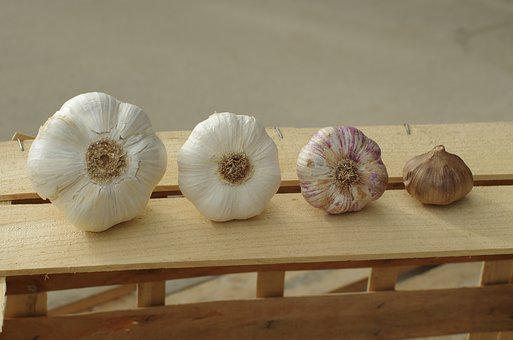 Garlic, Garlic Elephant, Garlic White, Purple Garlic
