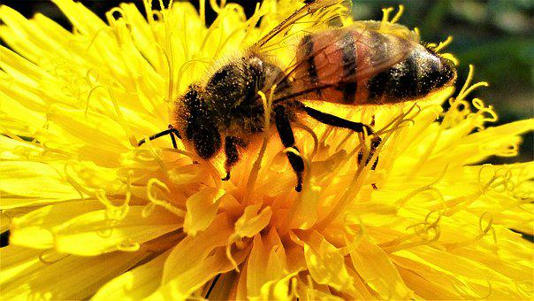 Bee, Insect, Nature, Honey, Pollination, Flower, Pollen