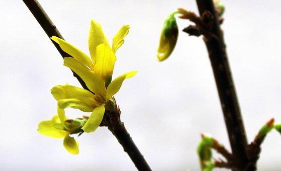 Forsythia, Spring Flowers, Bush, Nature