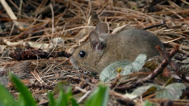 Mouse, Nature, Rodent, Animal World, Animal, Small