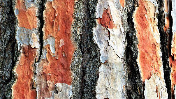 Tree, Bark, Pine, Old, Trunk, Tree Trunk
