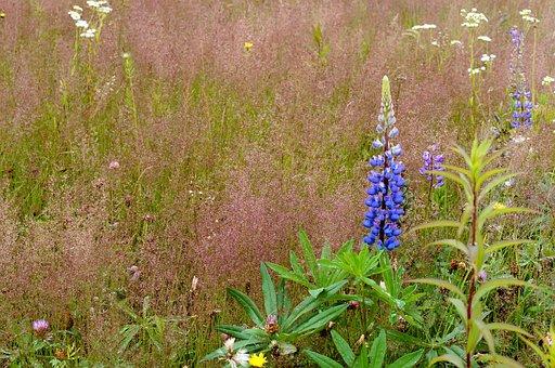 Lupine, Lilac, Violet, Meadow, Field, Heat, Landscape