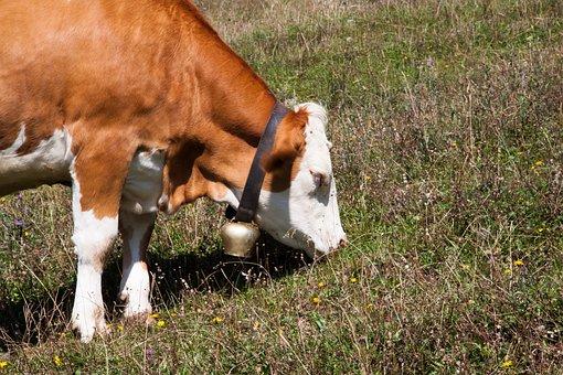 Beef, Jungrind, Calf, Alm, Bell, Meadow, Graze, Nature